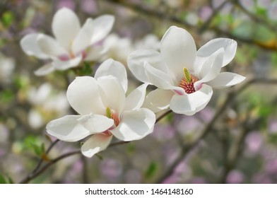 White Magnolia flowers bloom on background of blurry white Magnolia on Magnolia tree.