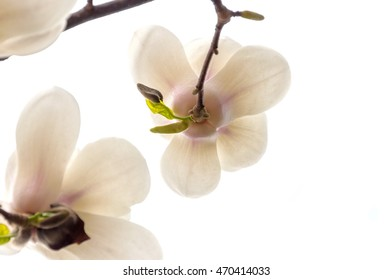 White Magnolia Flowers on a branch, Isolated on white.