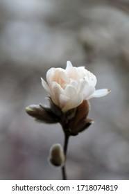 White Magnolia flowers in spring season.