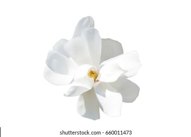 White magnolia on a white background. Isolate.