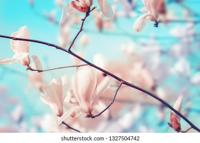 White magnolia tree flowers bud in spring. Nature floral blossoming background with copy space. Pastel colors.