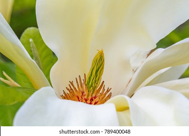 White Magnolia Tulip Tree Flower, close up. Magnoliaceae liliiflora