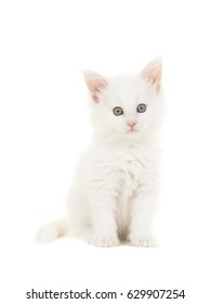 White main coon baby cat kitten sitting at looking at the camera isolated on a white background