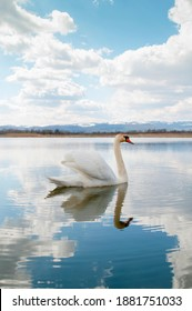 A white majestic swan floats in front of a wave of water. Young swan in the middle of the water. Drops on a wet head.