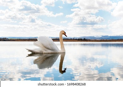 White majestic swan swim ahead in rippling water. Mute Swan the middle of the water. Drops on wet head. Smooth background