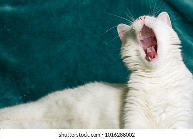 White male cat is yawning and showing his oral cavity with most of its constituent parts. There is a lot of cyan copy space beside. Selective focus on head and chests.