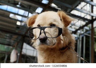 White male dog wear glasses, sit and looking make cute, funny face, portrait of pet at home on day