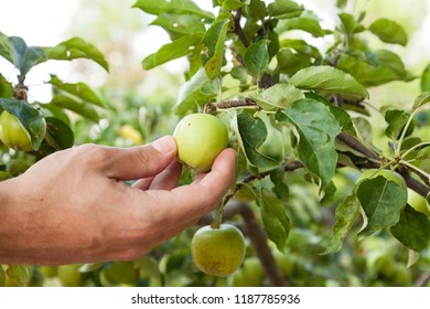White male hand taking an small apple from an apple tree. Traditional handmade organic fruit harvesting concept.