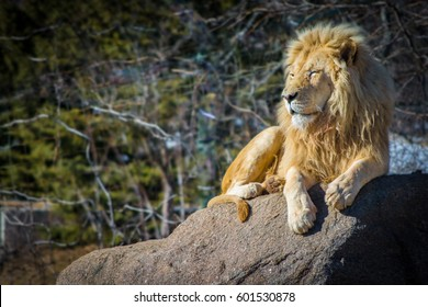 White male lion relaxing on a hot day on rock