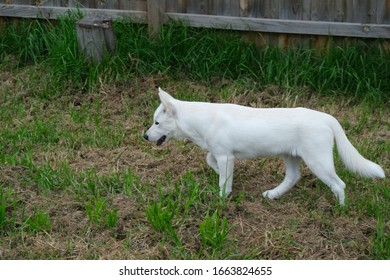 White Male Siberian Husky Puppy Miska At 4 Months Old. - Shutterstock ID 1663824655