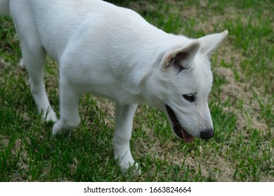 White Male Siberian Husky Puppy Miska At 4 Months Old. - Shutterstock ID 1663824664