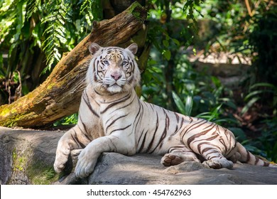 White male tiger in the zoo