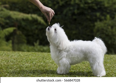 White Maltese dog getting a treat from his owner