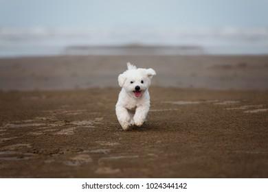 White Maltese dog running outdoors on the beach