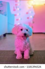 White maltese dog sitting at home on carpet