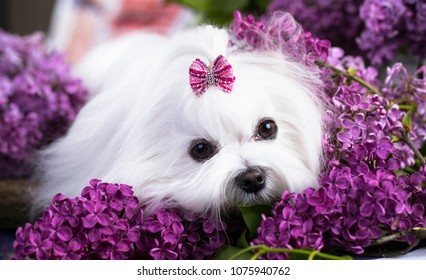 white Maltese lap-dog and lilac flowers