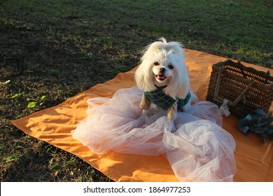White Maltese is sitting smiling in green clothes in the park.