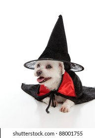 A white maltese terrier wears a black witches hat and a black and red cape.  White background.