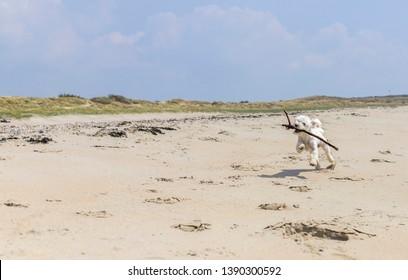 White malteser dog running and playing fetch on the beach in Westenschouwen, Zeeland, The Netherlands