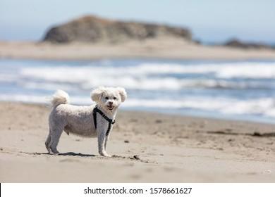 A white maltipoo enjoys the beach in Sea Ranch, California.
