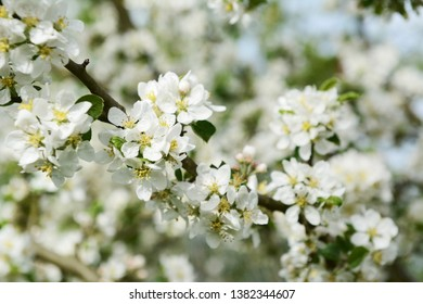 White Malus Rosehip crab apple blossom on a diagonal branch in selective focus against white flowers on the tree