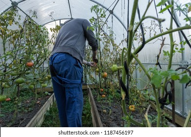 A white man collects tomatoes in a greenhouse. Seasonal harvest.