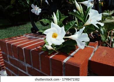 White Mandevilla Sanderi Flower Blossom
