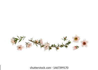 white manuka flowers in bloom isolated on white background with copy space