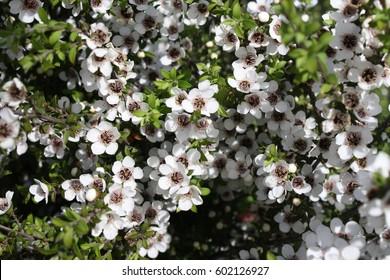 White Manuka Flowers New Zealand