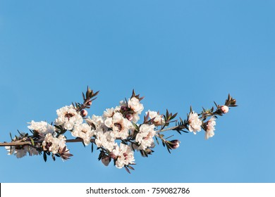 white manuka tree flowers in bloom isolated on blue background