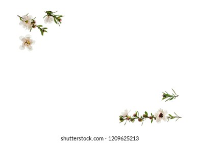 white manuka tree flowers on white background with copy space in middle