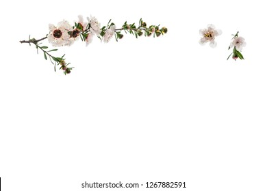 white manuka tree flowers on white background with copy space below