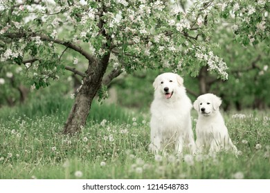 white Maremma and puppy Maremma sit under a flowering tree surrounded by white meadow flowers