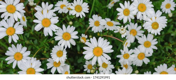 White marguerites with yellow center, wild flowers