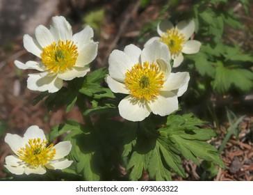 White Marsh Marigolds