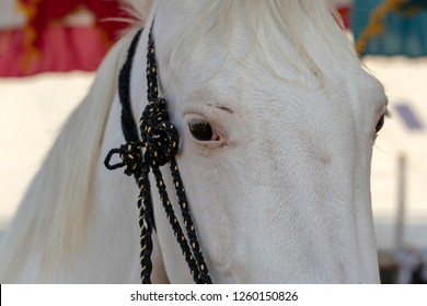 Royalty Free Marwari Horse Images Stock Photos Vectors Shutterstock
