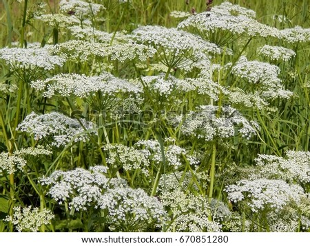 White meadow flowers closeup stock photo edit now 670851280 white meadow flowers close up mightylinksfo