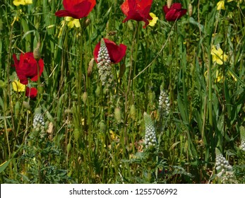 White mignonettes or reseda alba, red common poppies or papaver rhoeas, and Bermuda buttercup or oxalis pes-caprae, wild plants in a field, Attica, Greece