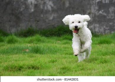 White mini poodle Dog hops joyfully on grassland