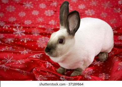 White mini rex rabbit on red satin material decorated with snowflakes.
