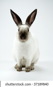 White mini rex rabbit stares at the camera, both ears are visible.