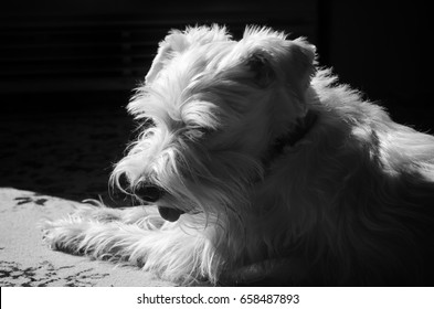 White miniature Schnauzer after grooming