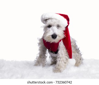 white miniature schnauzer puppy in santa claus costume and red hat