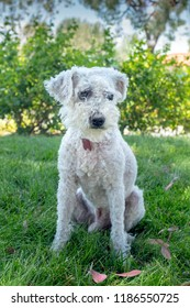 White miniture poodle sits outside on grass.