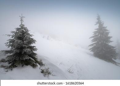 White misty winter landscape, Conifer in landscape, white edit space, Christmas time