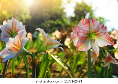 White mixed red Amaryllis flower are blooming in natural wild background.