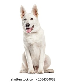 White Mixed-breed Dog sitting and panting in front of tha camera, isolated