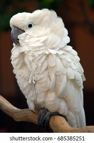 White Moluccan Cockatoo Cacatua moluccensis is a popular pet bird