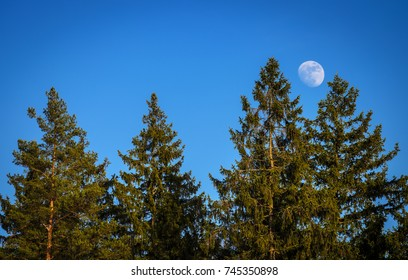 white moon over the spruce forest trees