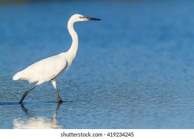 White Morph Reddish Egret, Egretta rufescens